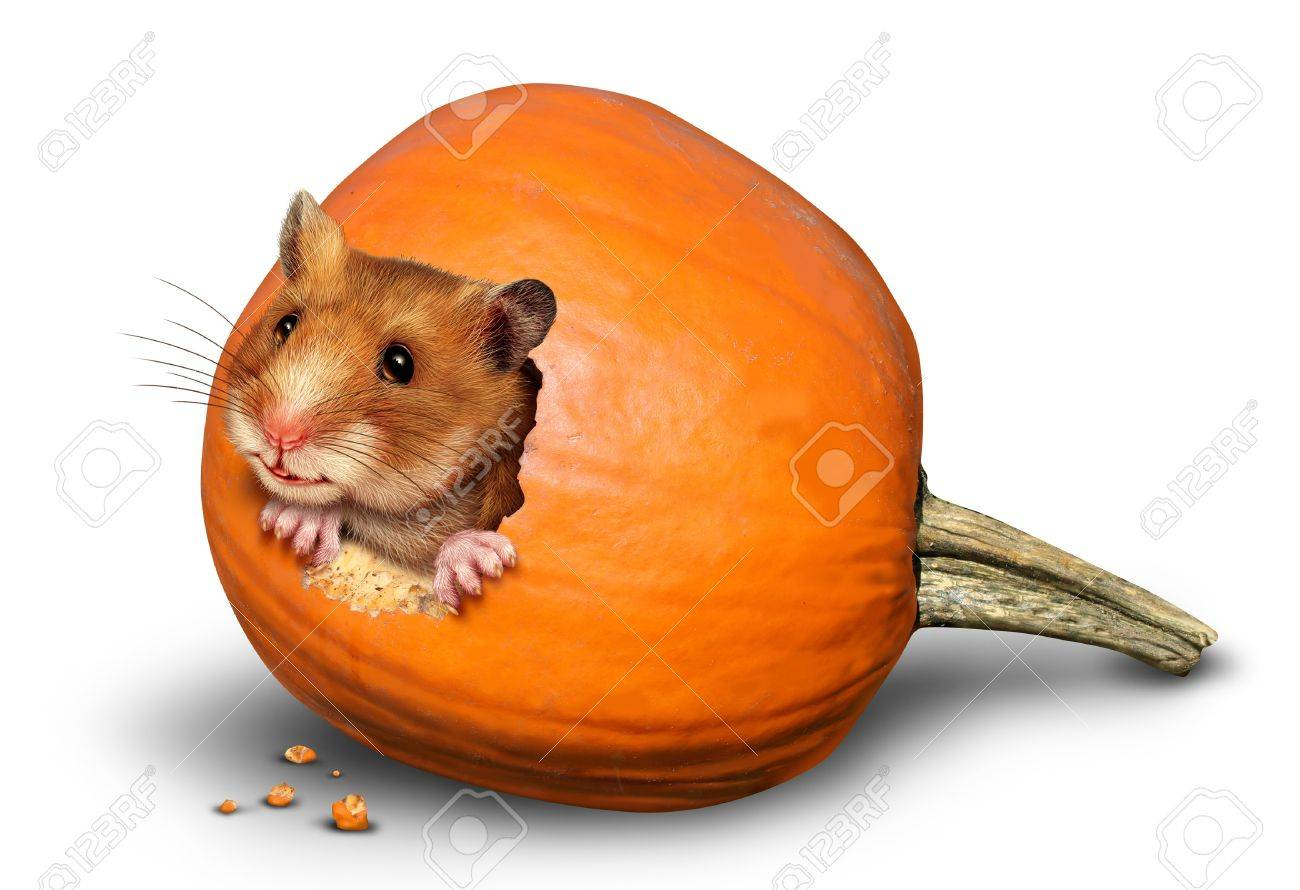 Thanksgiving harvest symbol with a fun mouse like rodent or pet hamster inside a hole of an eaten pumpkin on a white background as a concept of giving thanks for the abundance of fresh produce and autumn crops Stock Photo - 15739391