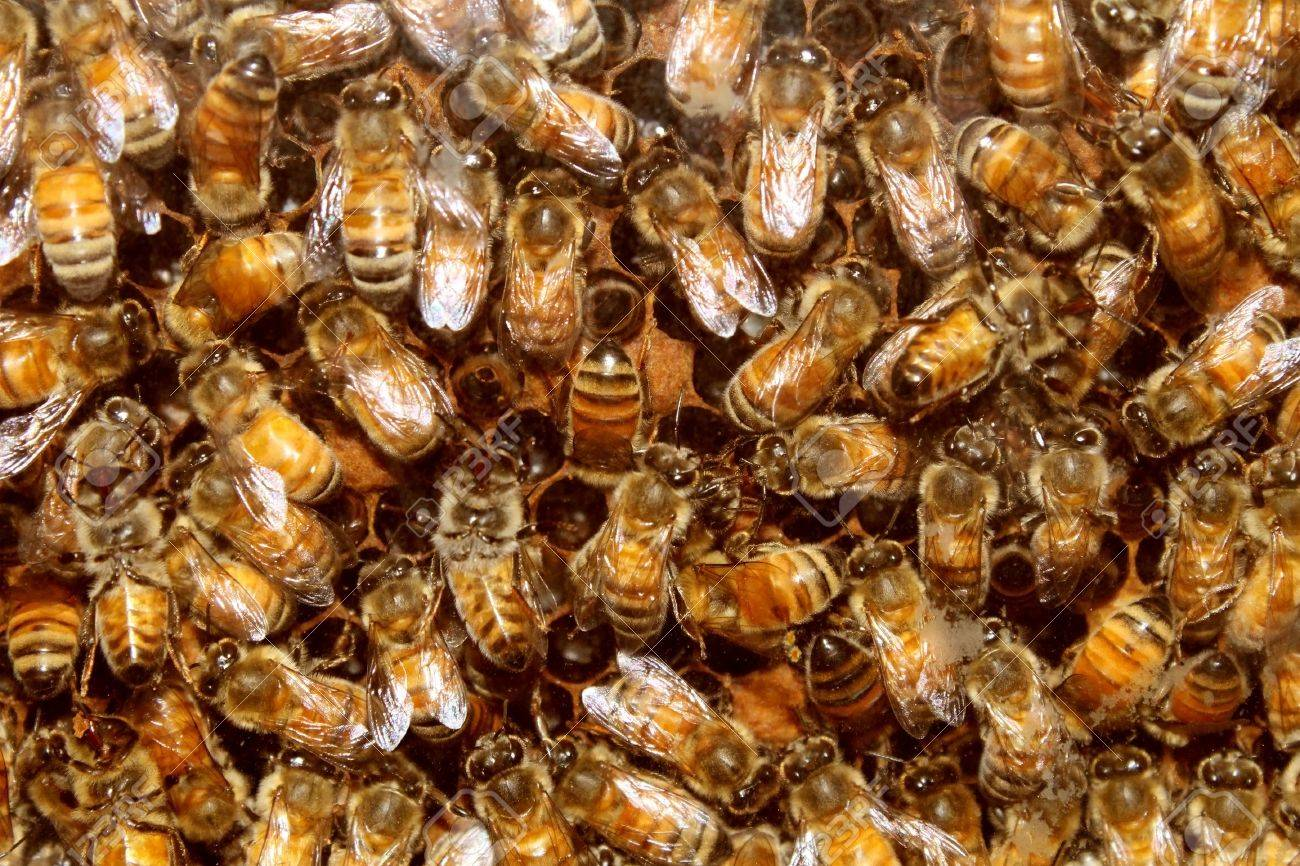 Bees in a beehive making sweet honey in the the honeycomb cell structures working together as a team of flying insects franticaly feeding the larvea as a golden yellow nature background Stock Photo - 15975786