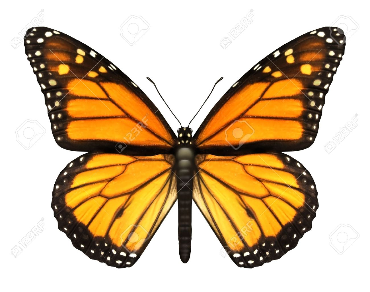 Monarch Butterfly with open wings in a top view as a flying migratory insect butterflies that represents summer and the beauty of nature Stock Photo - 15975773