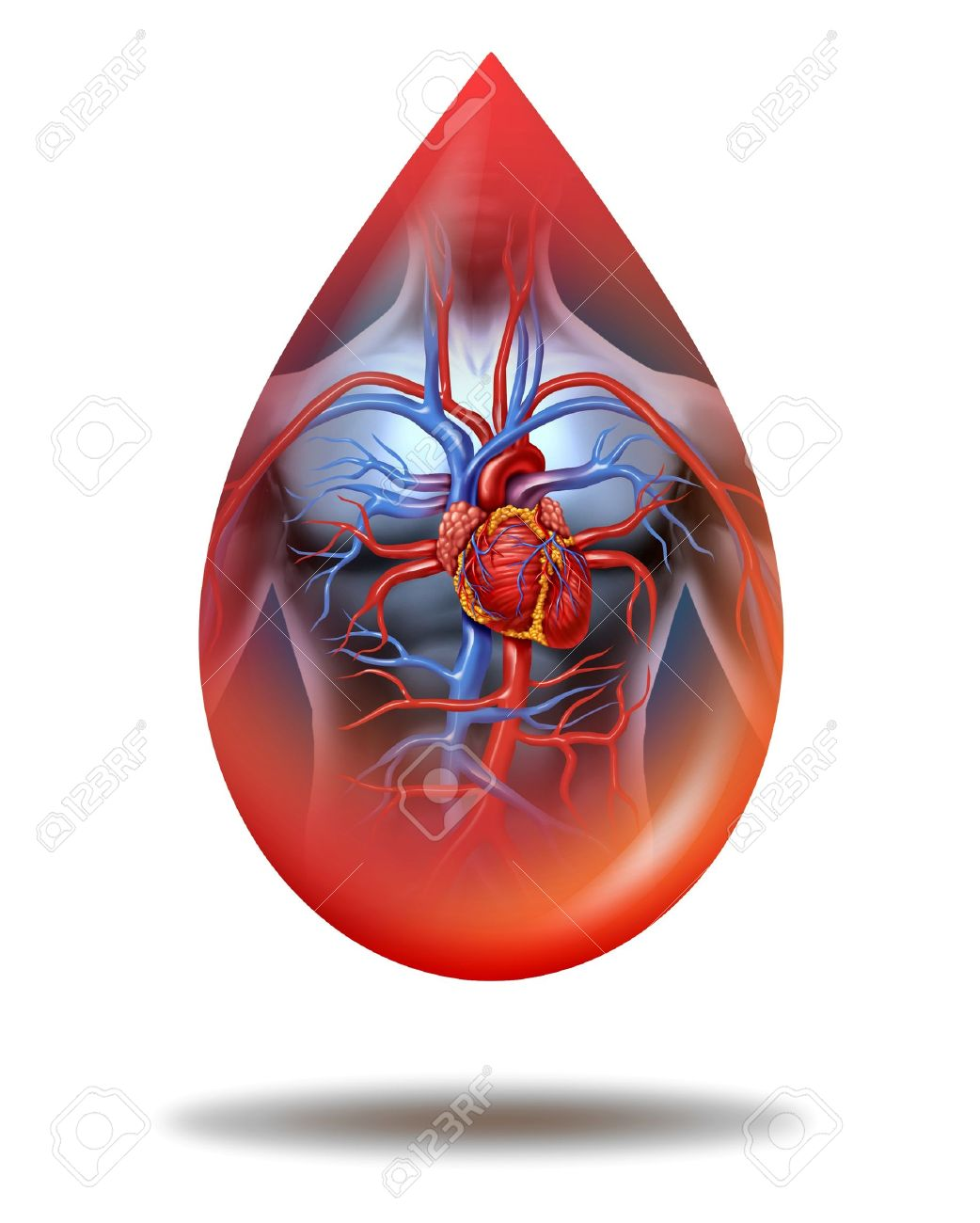 Human heart blood drop with a human body anatomy and cardiovascular heart circulation system as a symbol of health care and medicine on a white background Stock Photo - 16456542