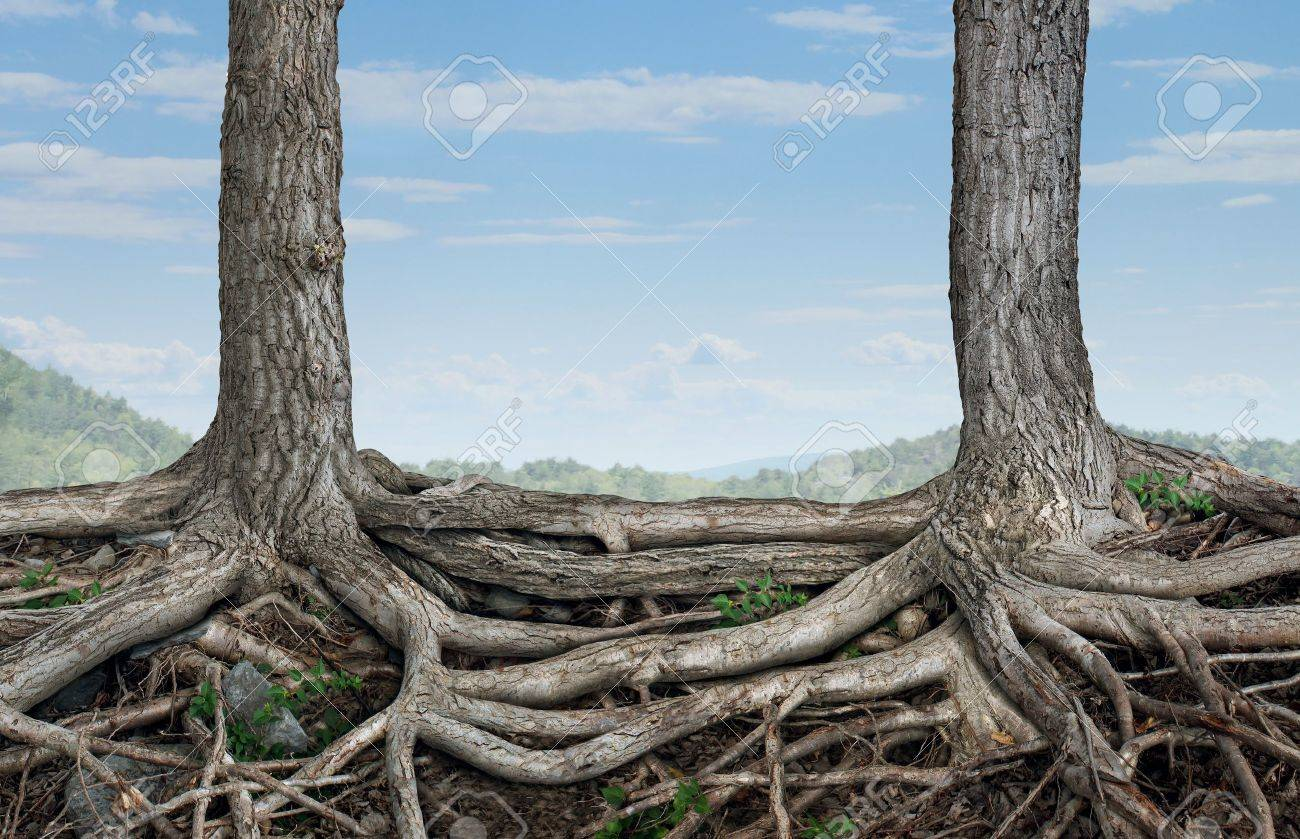 Strong partnership and foundation as a business concept of stability and loyalty with two trees with roots connected together as a symbol of agreement and merging forces together for success Stock Photo - 16456566