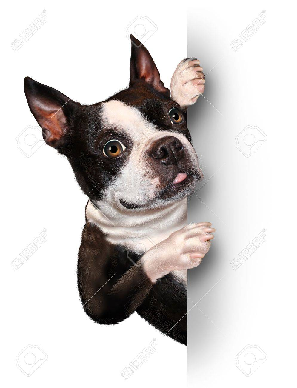 Dog with a blank card vertical sign as a Boston Terrier with a smiling happy expression supporting and communicating a message pertaining to pet care on white Stock Photo - 16559239