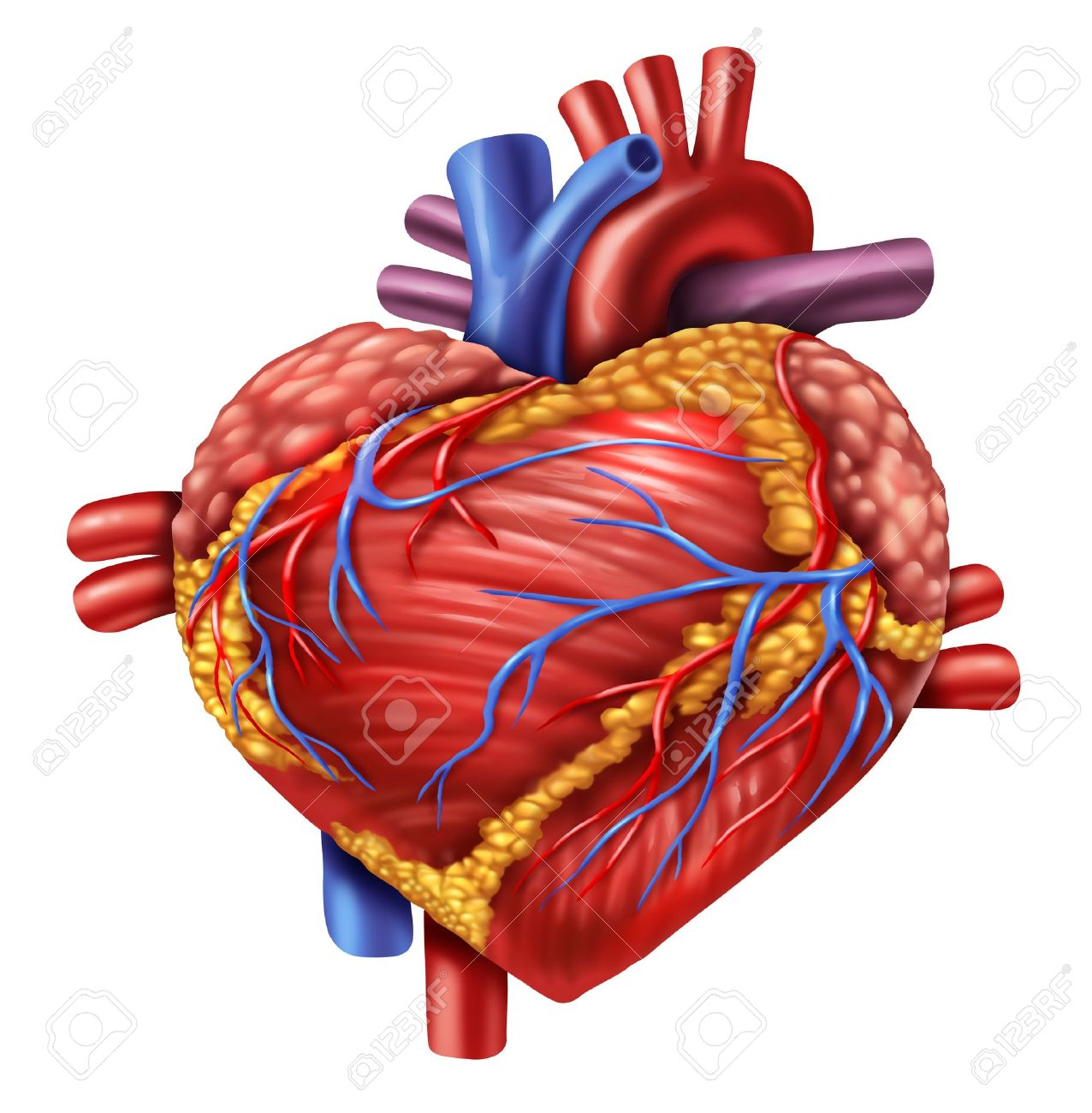 Human Heart In The Shape Of A Love Symbol Using The Organ From