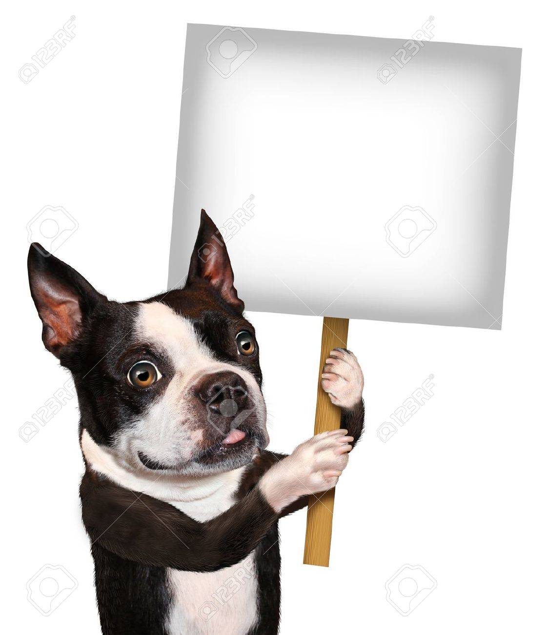 Dog holding a blank sign as a Boston Terrier with a smiling happy expression advertising and communicating a message pertaining to pet care and veterinary issues on white Stock Photo - 17472614