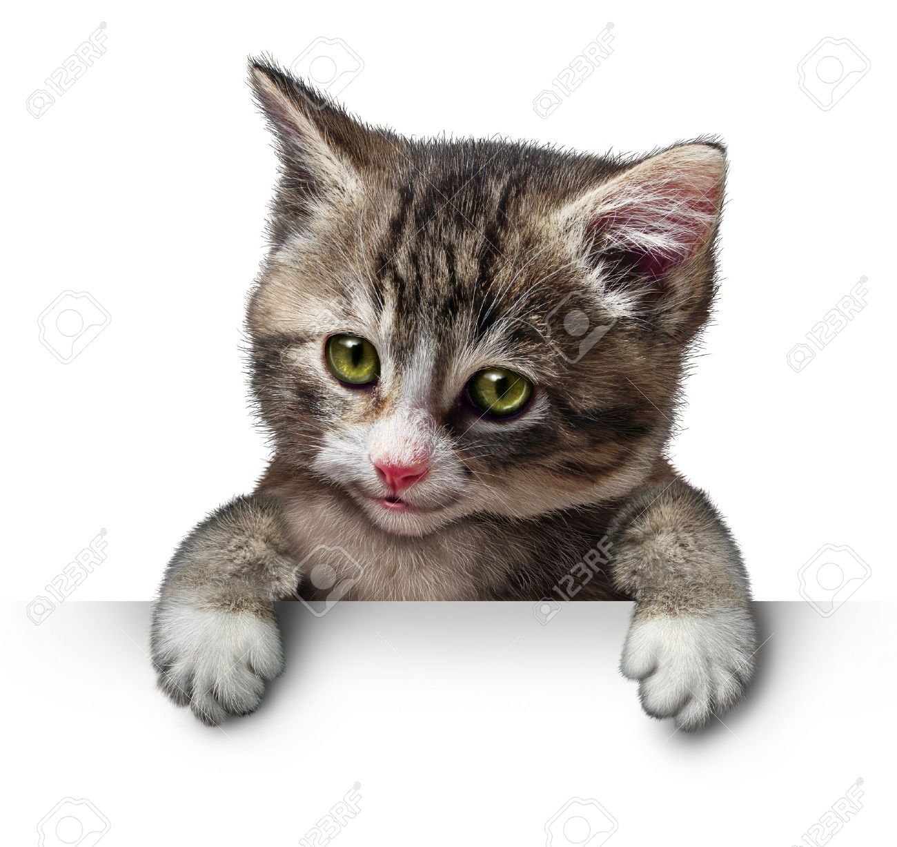 Cat or kitten holding a horizontal blank card sign as a cute feline with a smiling happy expression supporting and communicating a message pertaining to pet care on white. Stock Photo - 19698944