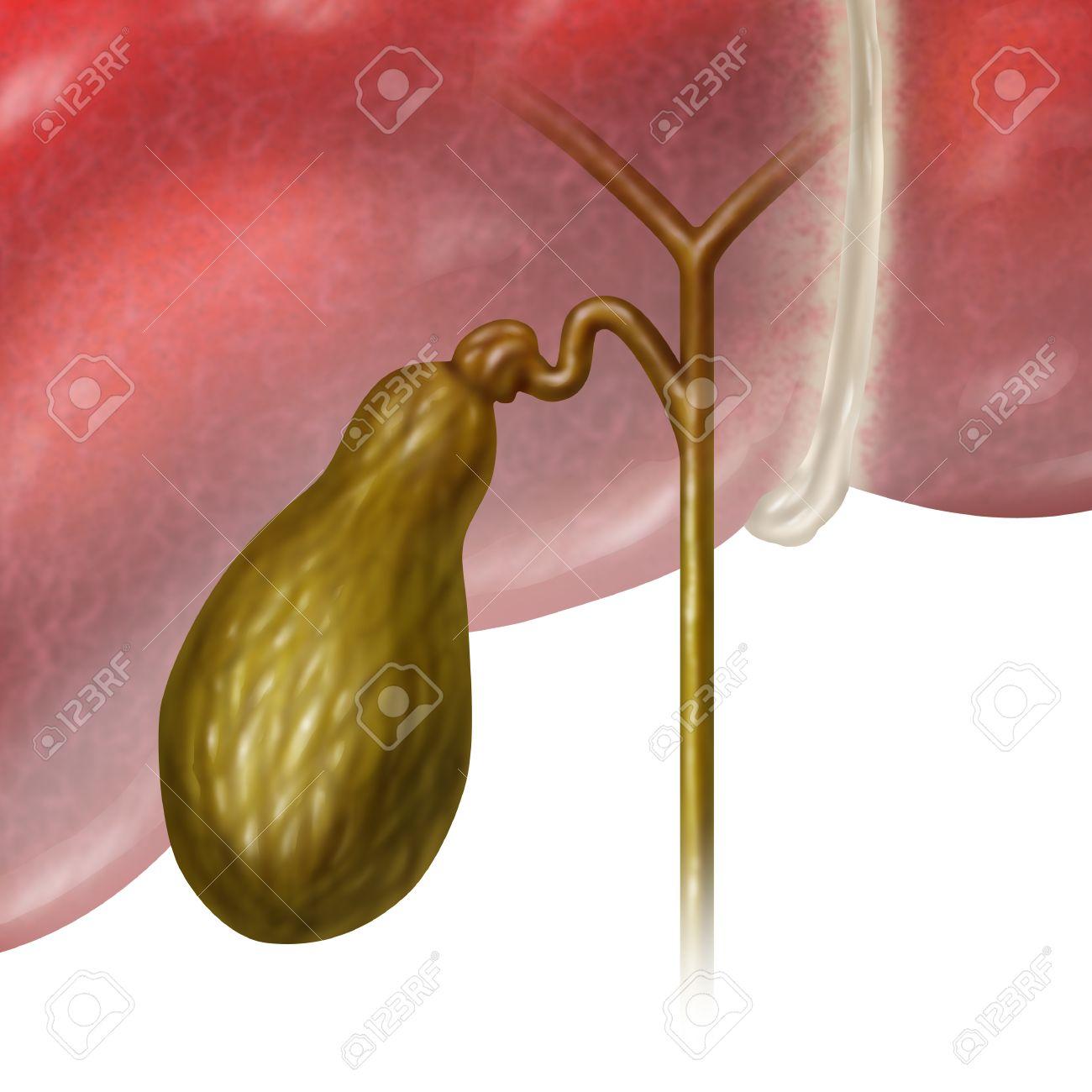 La Vesícula Biliar O Vesícula Biliar órgano Interno Humano Como Una ...