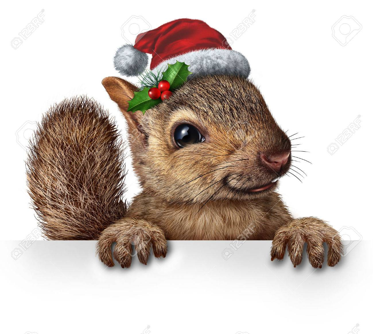 Holiday squirrel wearing a santa clause hat with  holly and red berries hanging over a blank banner Stock Photo - 32509774