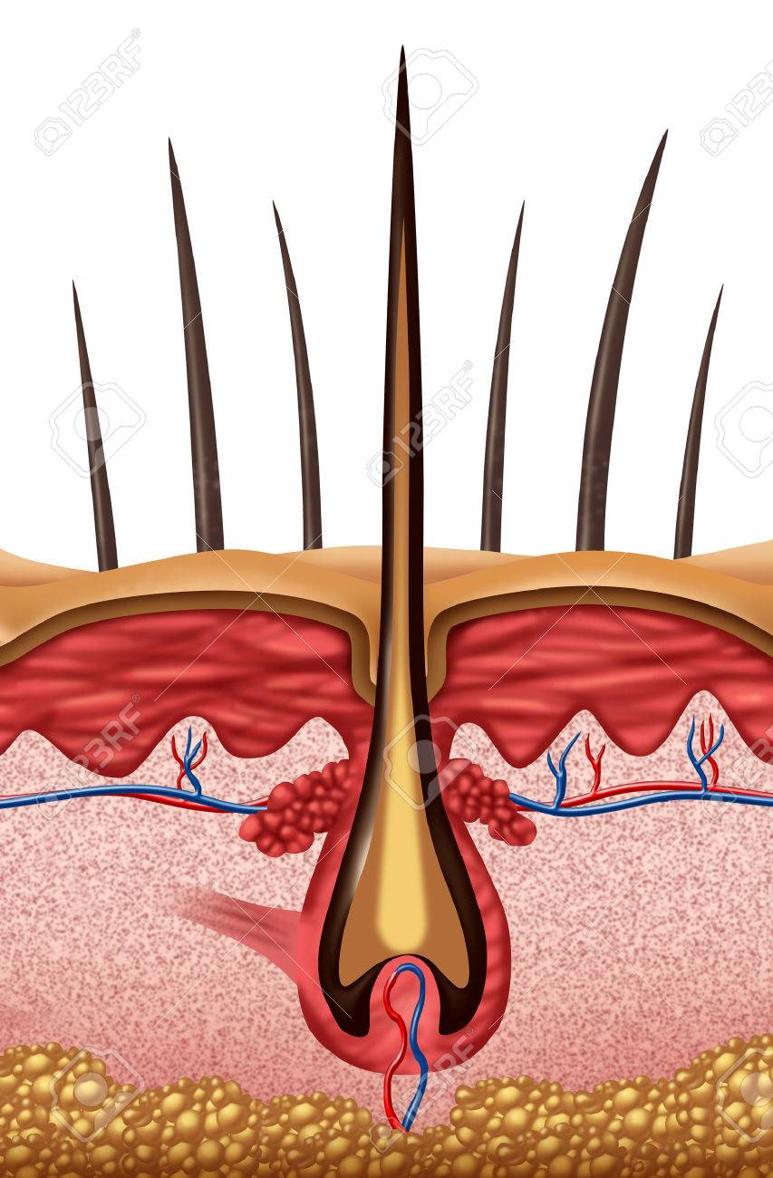 Concepto Médico De Anatomía Del Pelo Como Un Primer Plano De Un ...