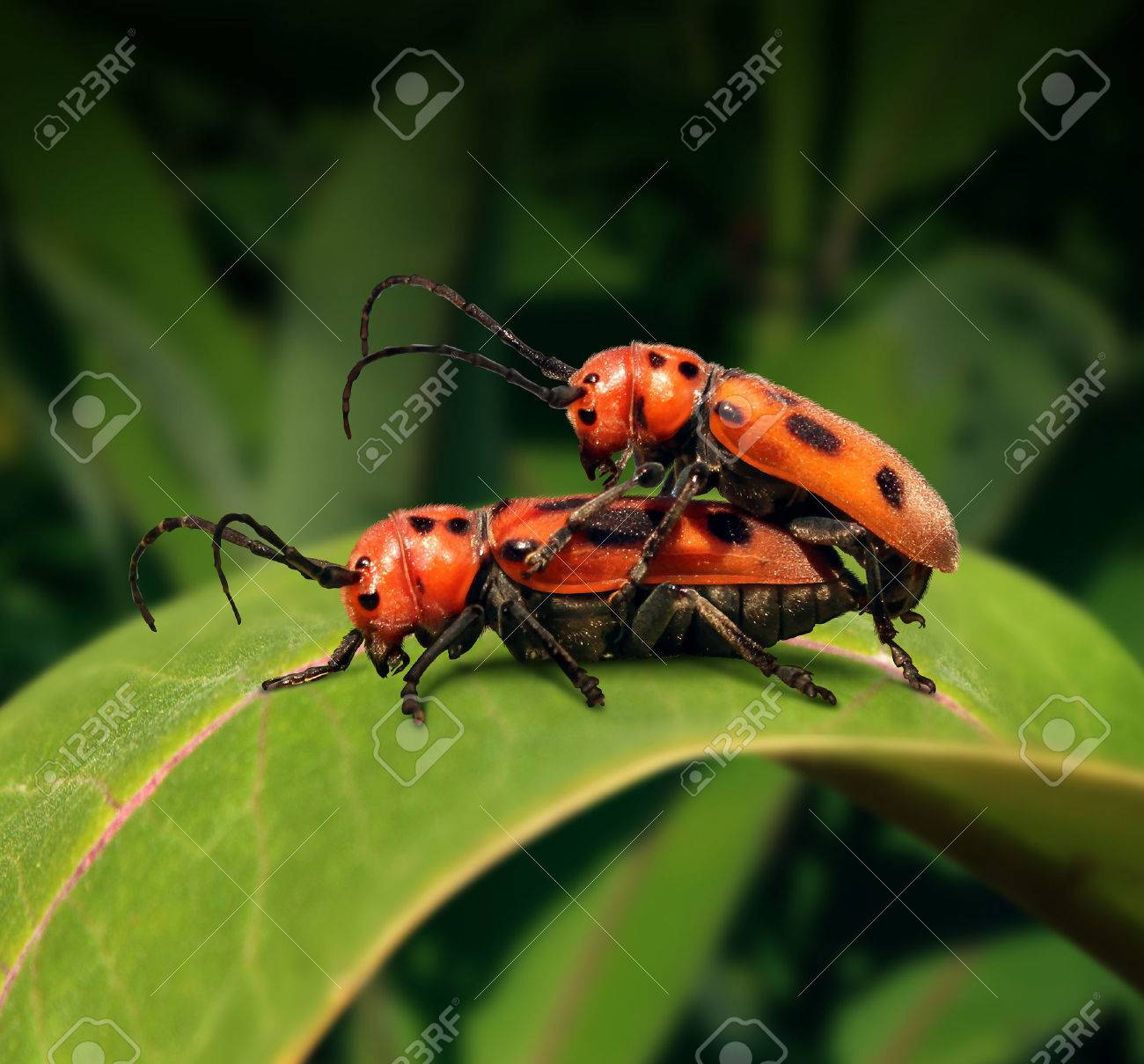 Sex in nature concept as two beetle insects in sexual activity for  reproduction on a green leaf as a biology symbol for natural selection and  the transfer ...