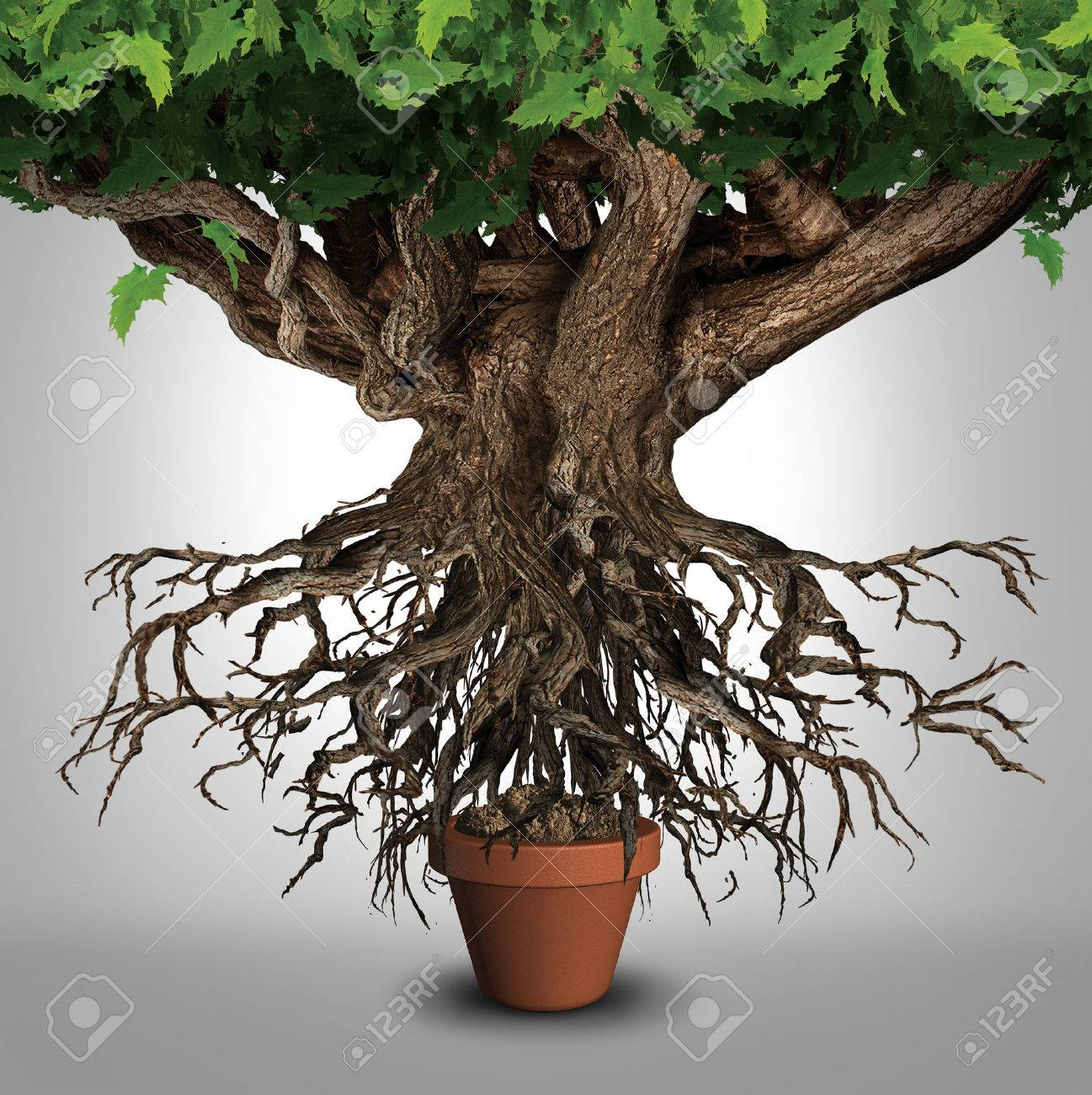 Business expansion and too big to manage business that does not fit metaphor or expanding outgrowing your home concept as a large tree with a small plant pot as an icon for managing growth success - 51757433