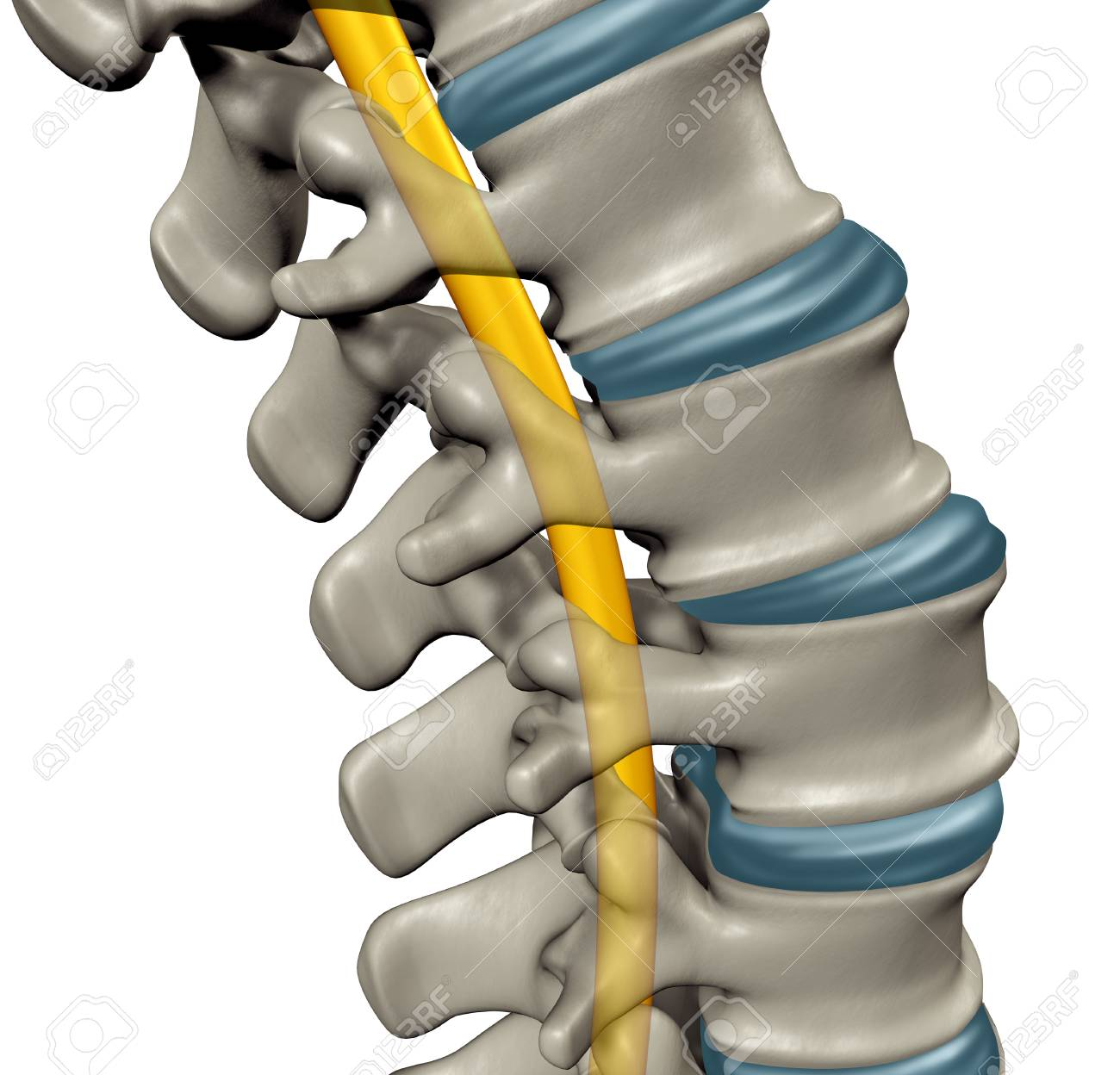 Spinal Cord Anatomy Concept As A Medical Symbol For The Human ...