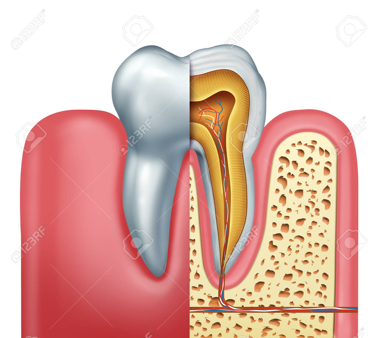 Human Tooth Anatomy Dentistry Medical Concept As A Cross Section
