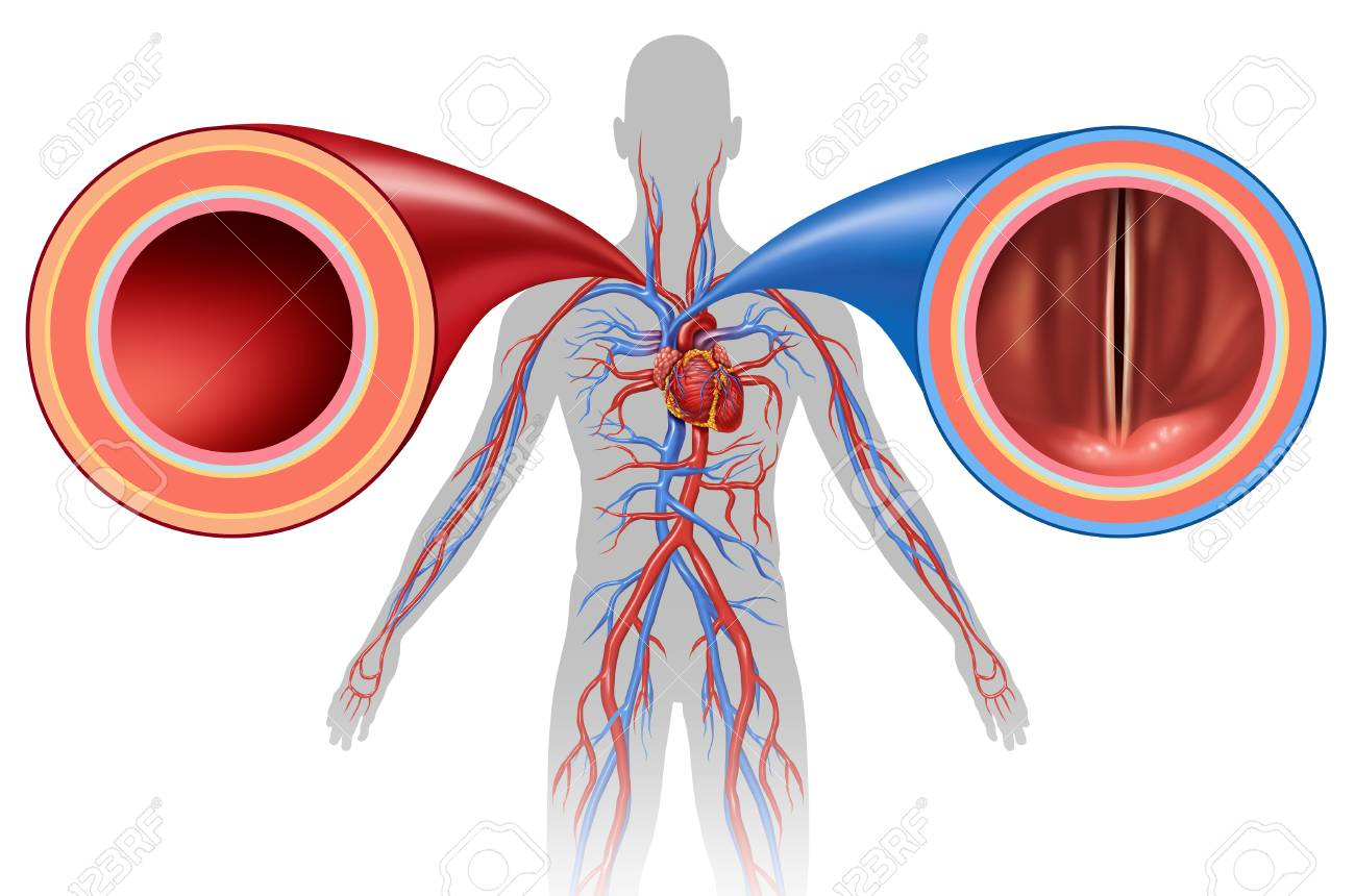Artery And Vein Structure As A Human Circulation Concept With