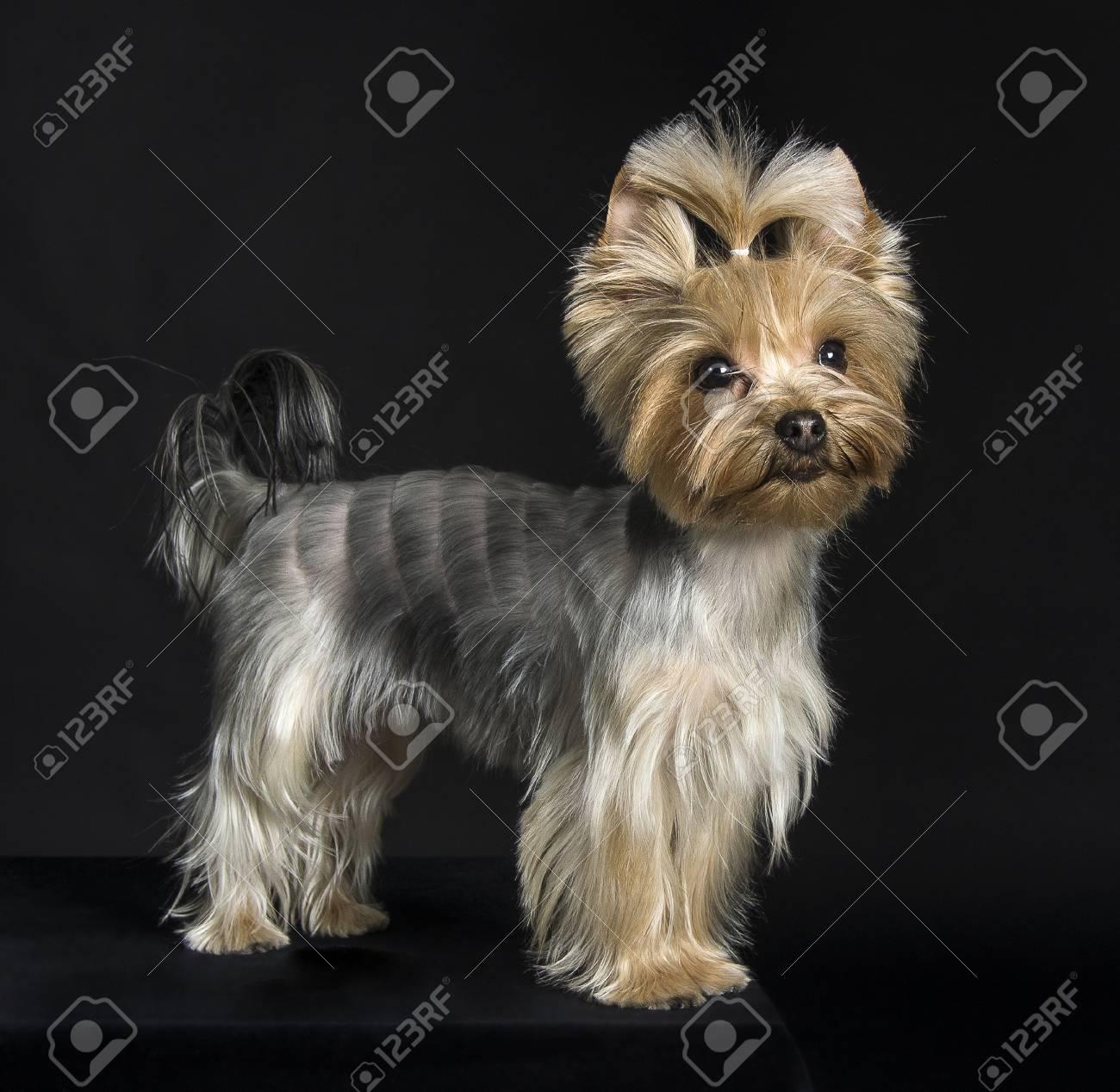 Corte pelo para yorkshire terrier