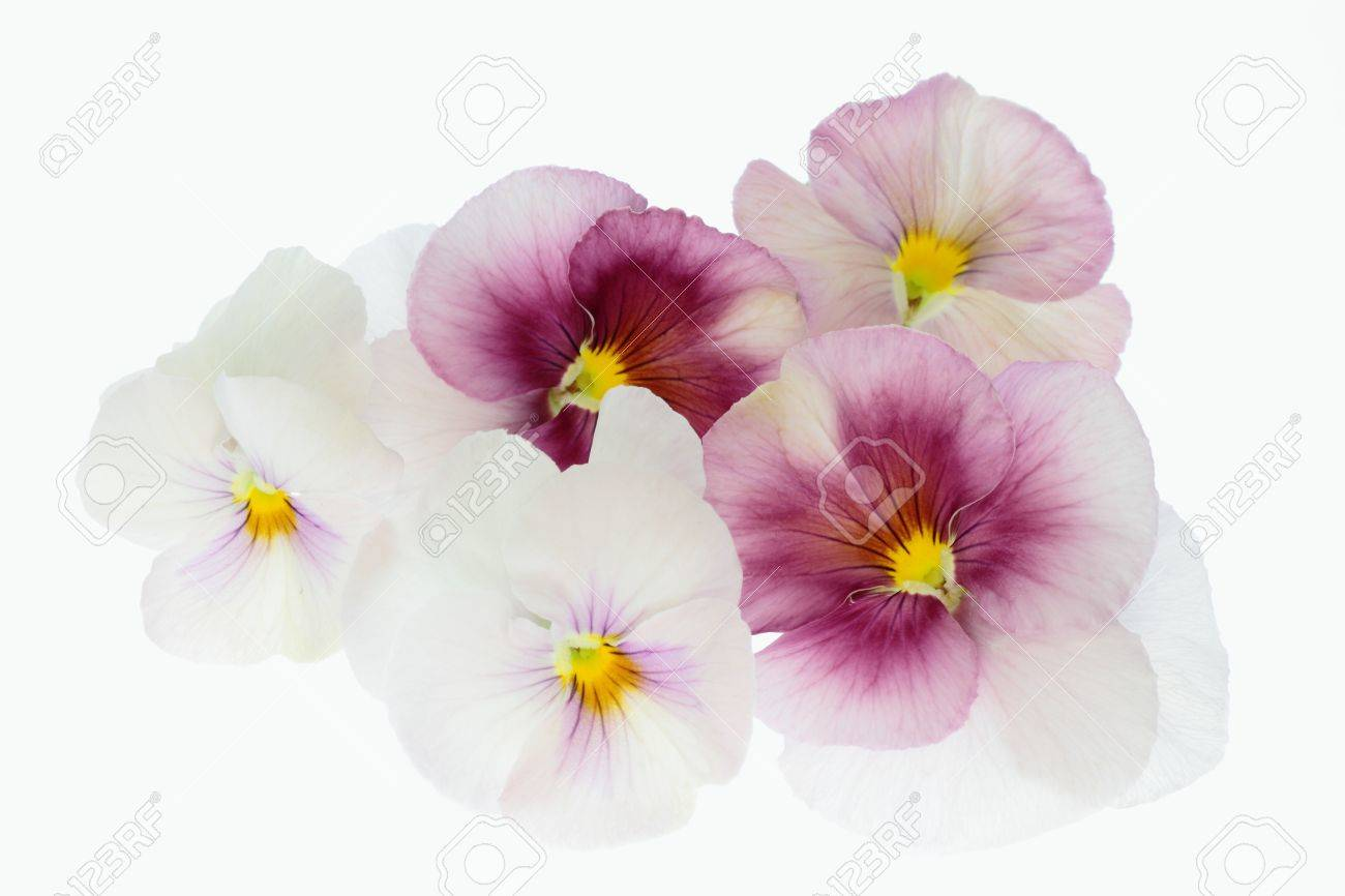 Flower Arrangement Of The Pansy Of Pink And The Purplish Red Stock
