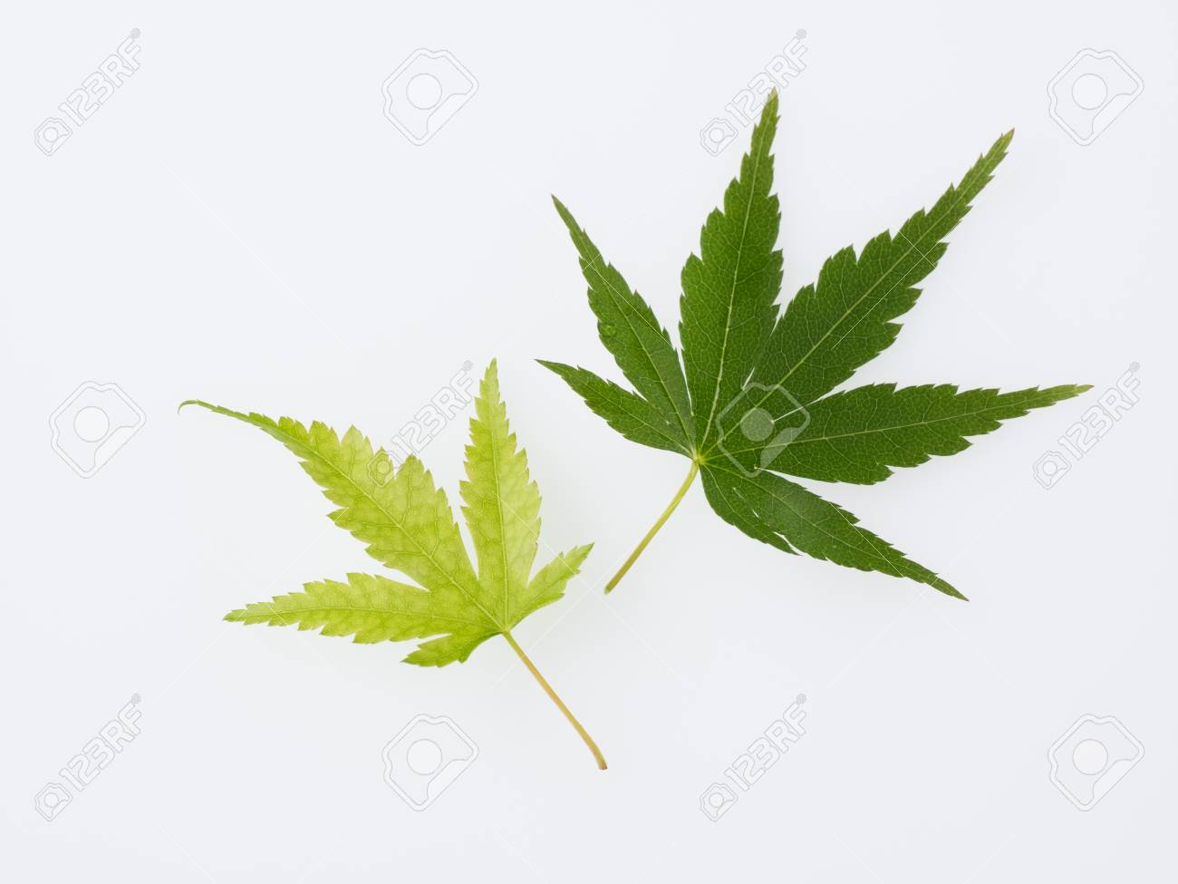 Fresh green Maple isolated in the white background Stock Photo - 28650729