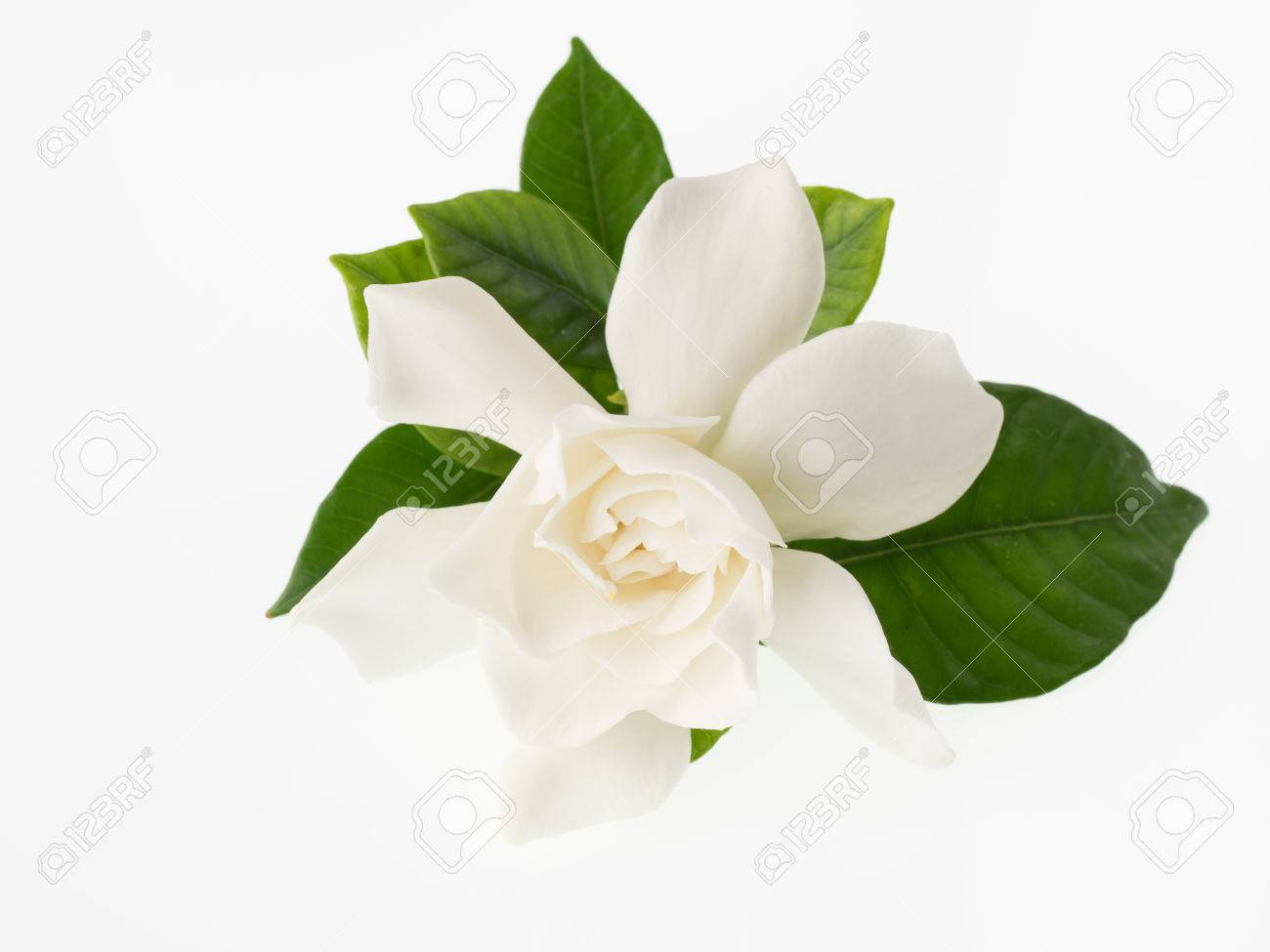 gardenia flowers stock photos  pictures. royalty free gardenia, Natural flower