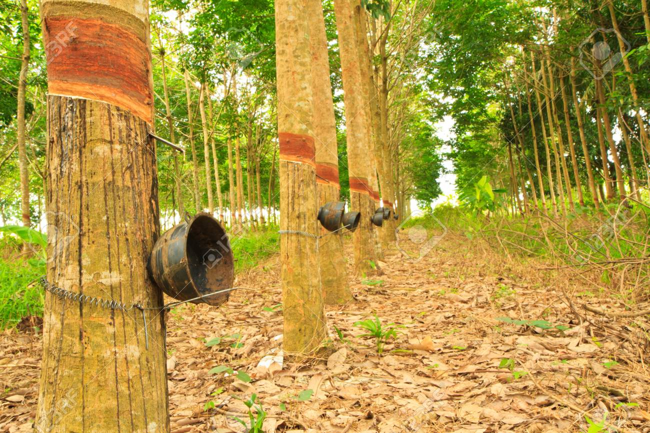 rubber trees and cups Stock Photo - 13355336