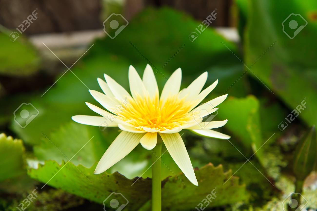 white lotus from Thailand Stock Photo - 13632280