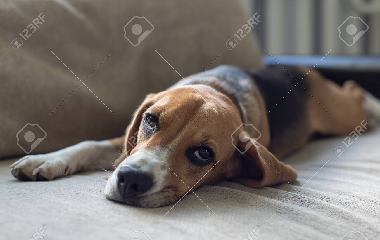 Resting beagle dog on the couch. Beggingly looks at the owner. Pets. - 149366862