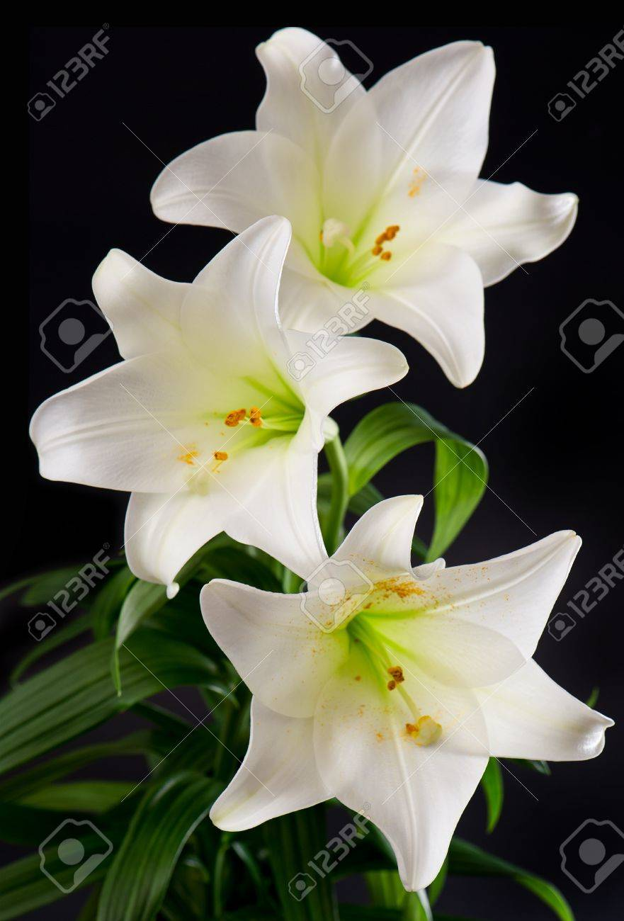 White lily flowers bouquet on black background stock photo picture stock photo white lily flowers bouquet on black background izmirmasajfo