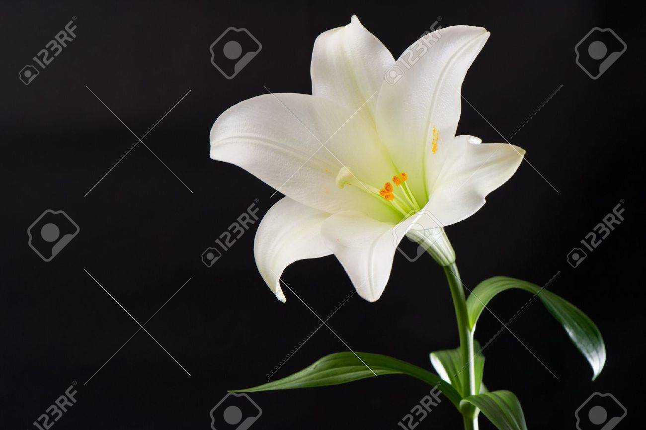 White lily flower on black background stock photo picture and stock photo white lily flower on black background izmirmasajfo