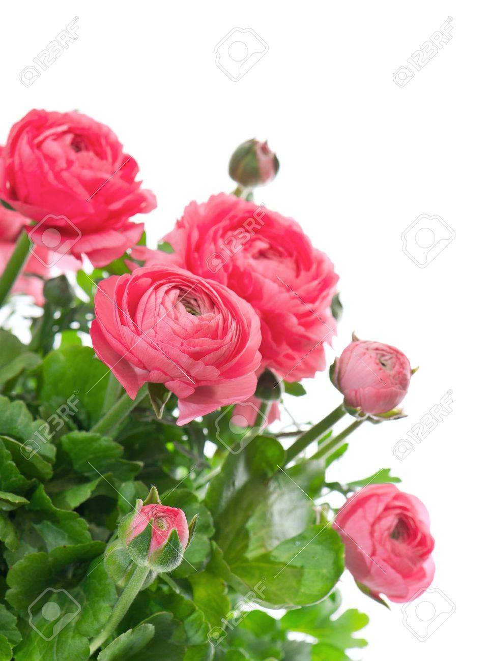 beautiful bouquet of spring flowers pink ranunculus on white