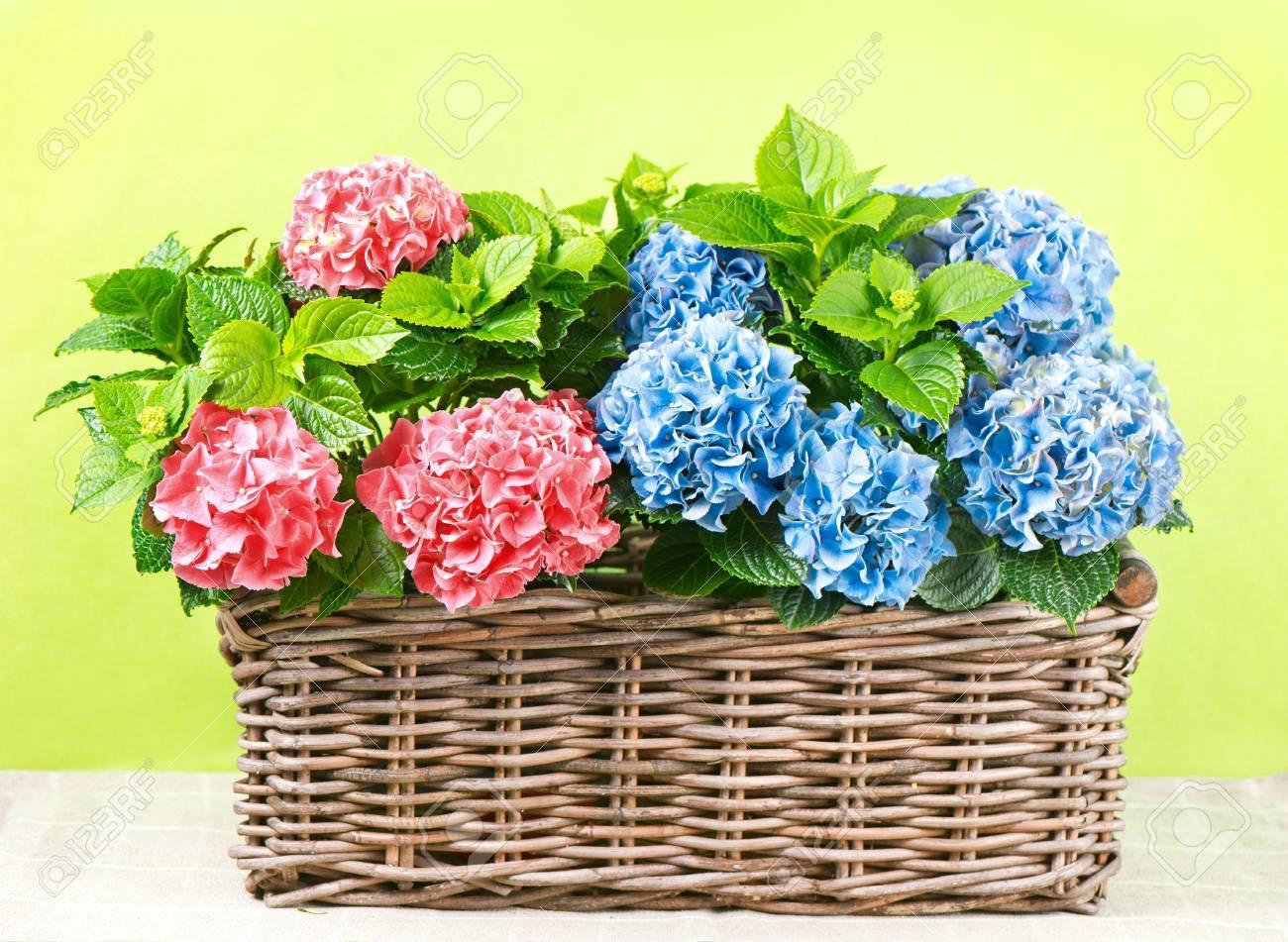 Atemberaubend Bunten Hortensien Im Korb Auf Grünem Hintergrund Schöne Rosa Und @EC_87