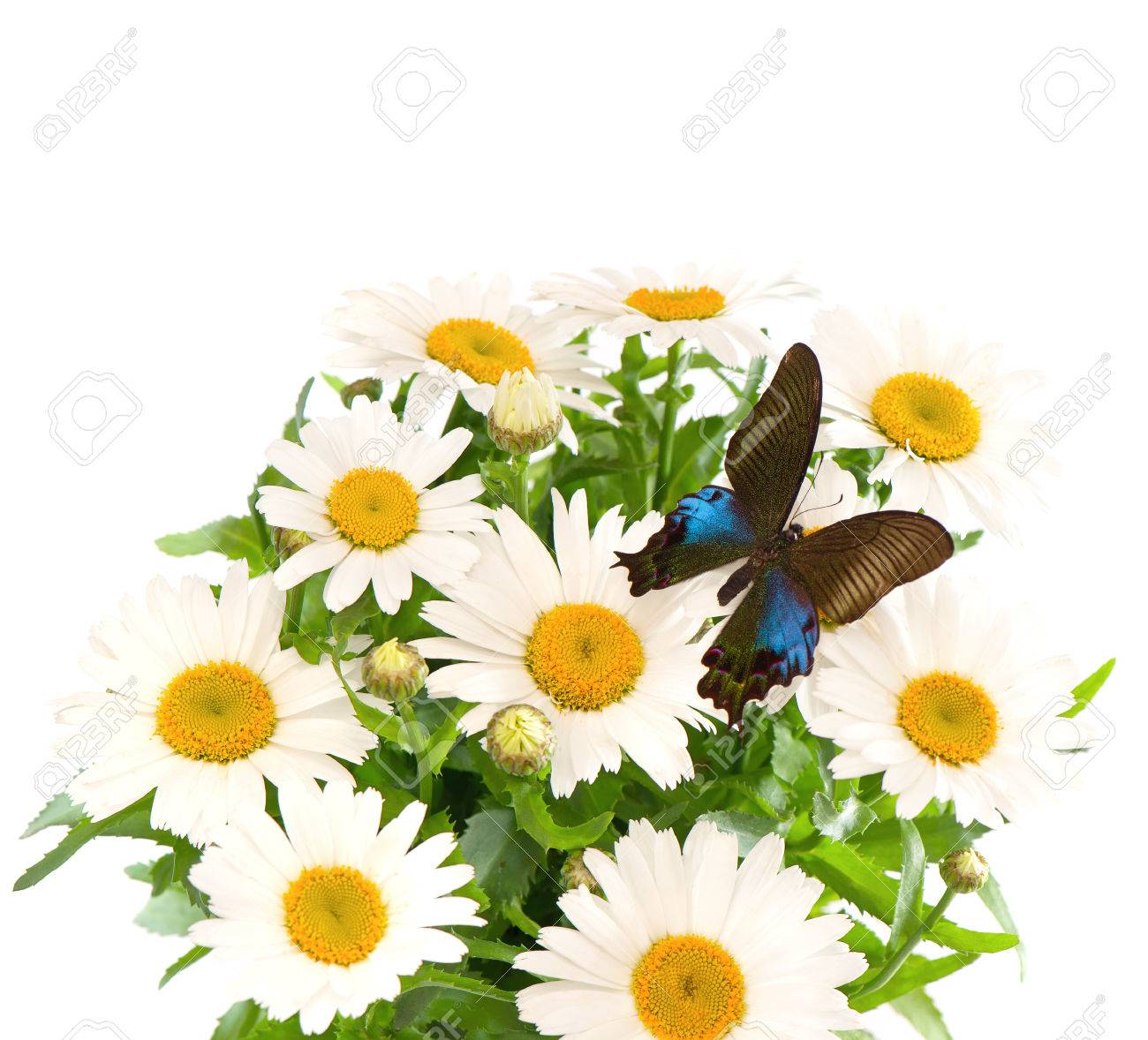 Bouquet Of Fresh Daisy Flowers With Butterfly Stock Photo Picture