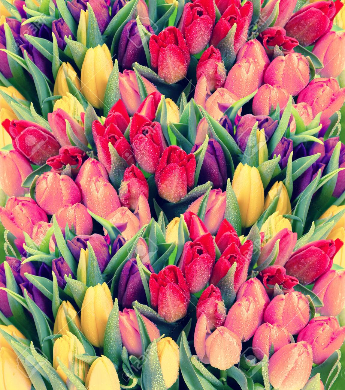 Tulips Fresh Spring Flowers With Water Drops Floral Background
