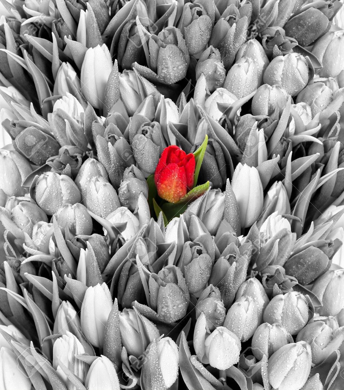 Tulips fresh spring flowers with water drops black white with stock photo tulips fresh spring flowers with water drops black white with one red flower mightylinksfo