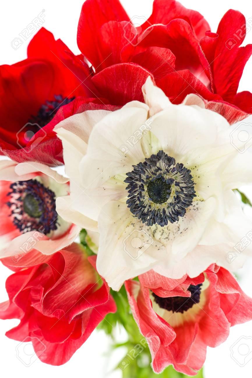 Ramo De Flores Rojas Y Blancas Anemona Sobre Blanco Fotos Retratos