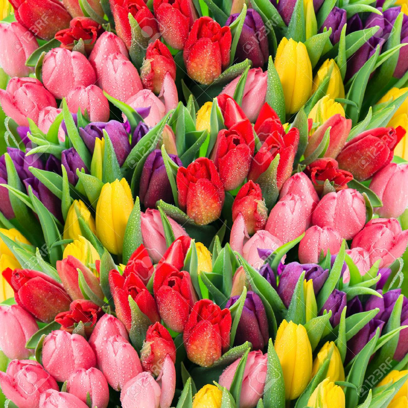 Bouquet of multicolor tulips fresh spring flowers with water stock bouquet of multicolor tulips fresh spring flowers with water drops floral backdrop stock photo 29722946 mightylinksfo