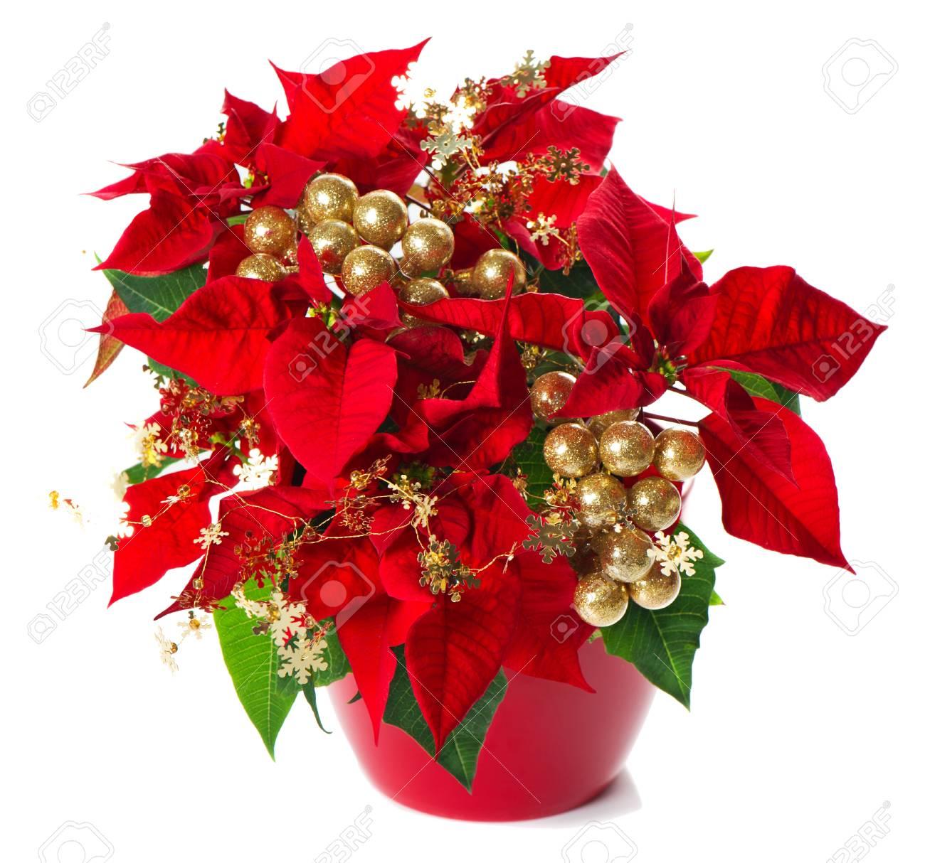 Immagini Di Fiori Di Natale.Poinsettia Rosso Fiore Di Natale Con Decorazioni D Oro Su Sfondo Bianco