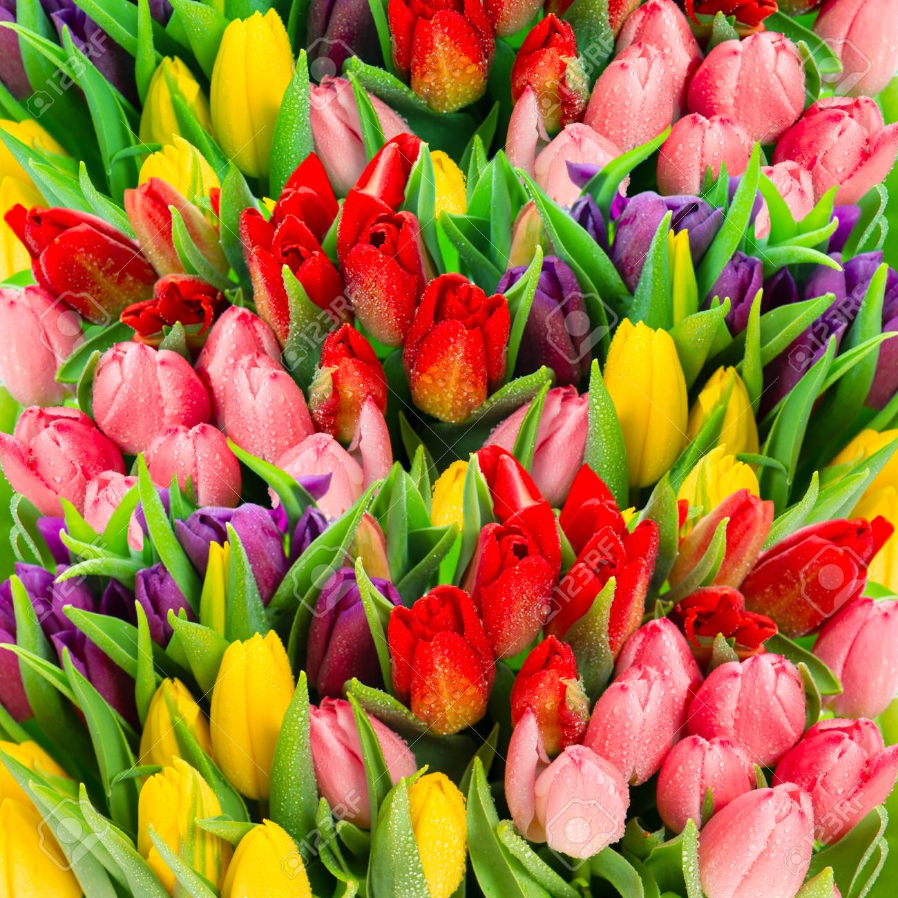 Fresh spring tulip flowers with water drops. Floral wallpaper. Vibrant colors Stock Photo -