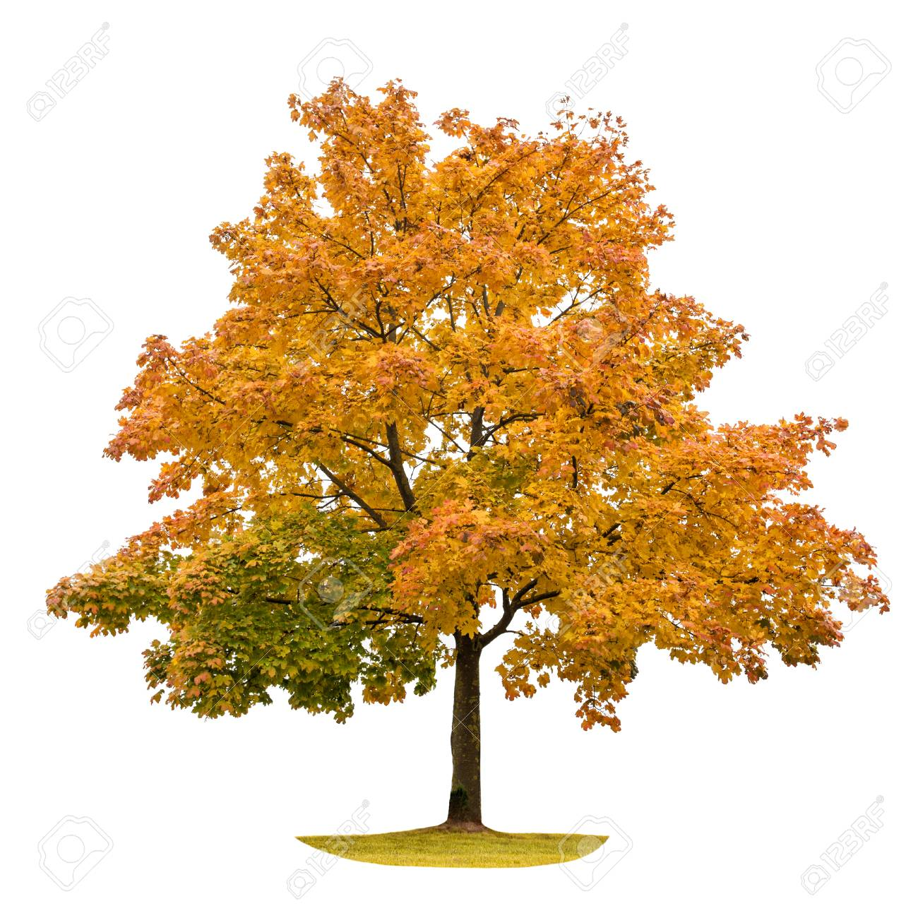 Image result for maple tree white background