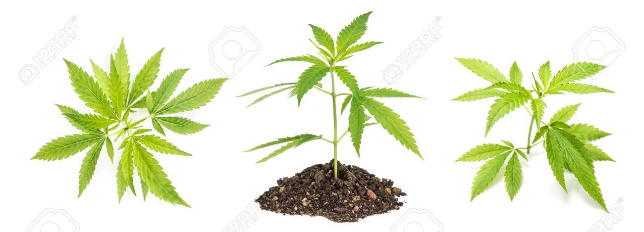 Hemp leaves. Cannabis Marijuana plant - 141101734