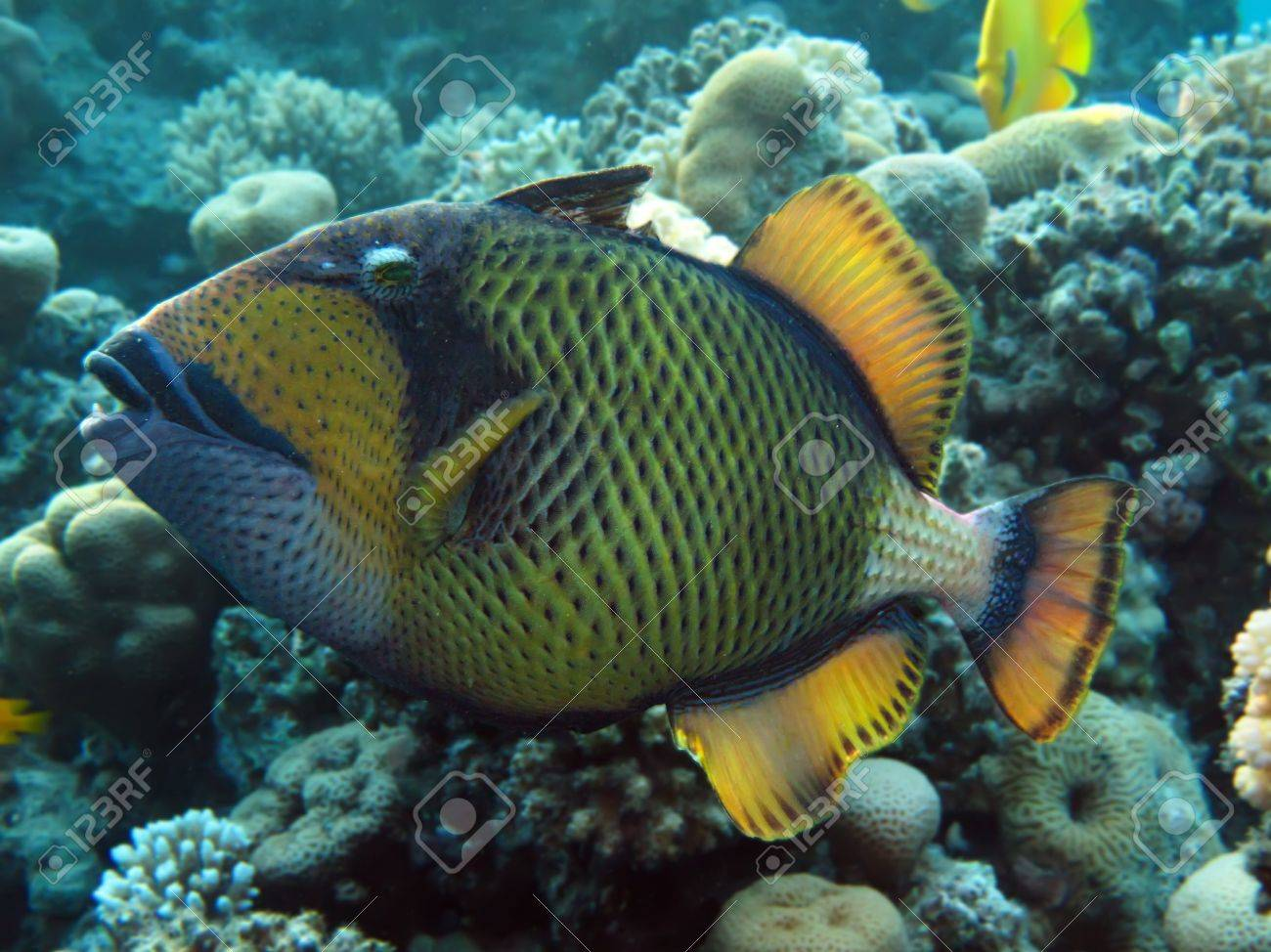 titan triggerfish stock photo picture and royalty free image