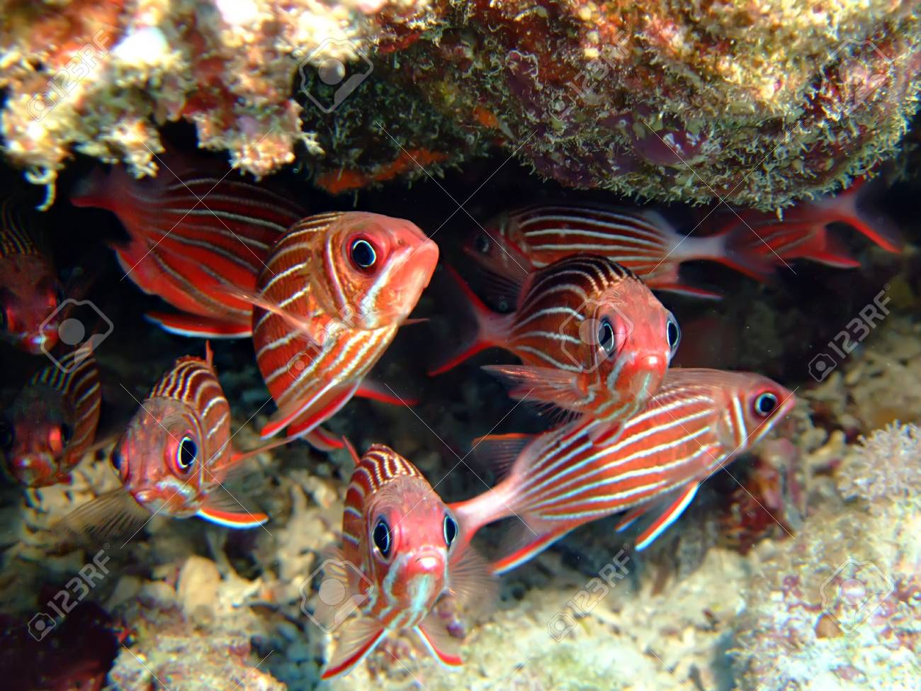 Crown squirrelfish Stock Photo - 5237333