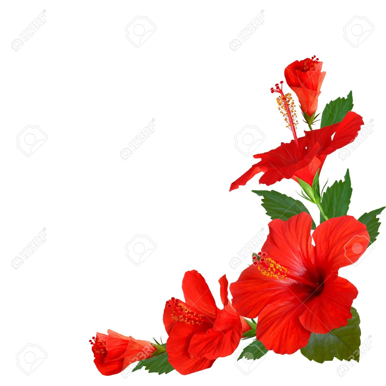 Hibiscus Flowers Stock Photo Picture And Royalty Free Image Image