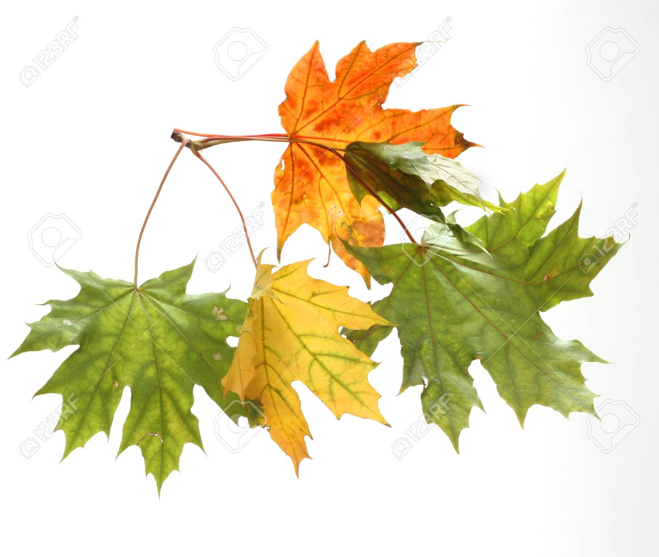 Isolated autumn leaves Stock Photo - 22145882