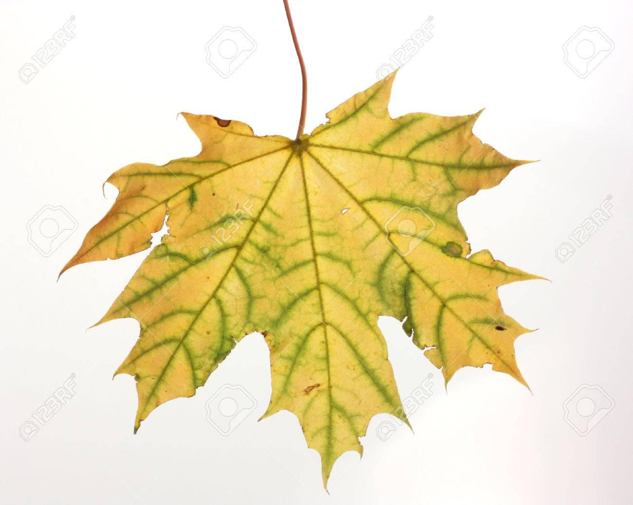 Isolated autumn maple leaf Stock Photo - 23112540