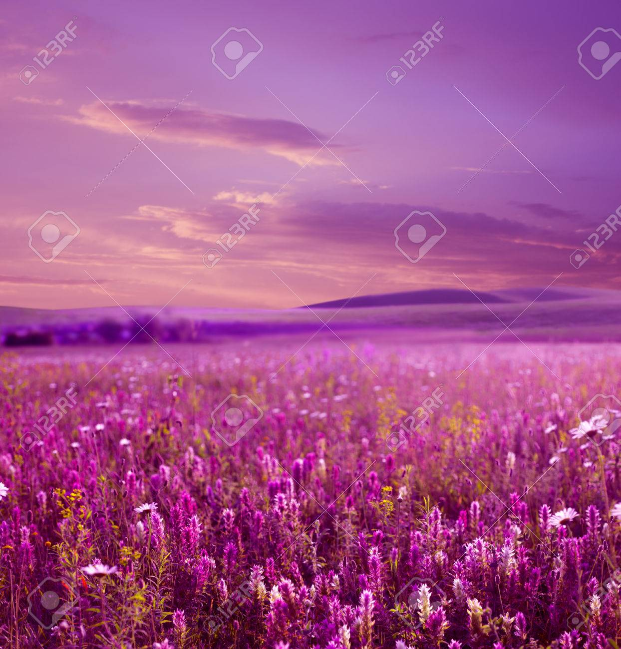 Flower field sunset Animated Pink Sunset Is In The Flower Field Stock Photo 32053254 123rfcom Pink Sunset Is In The Flower Field Stock Photo Picture And Royalty