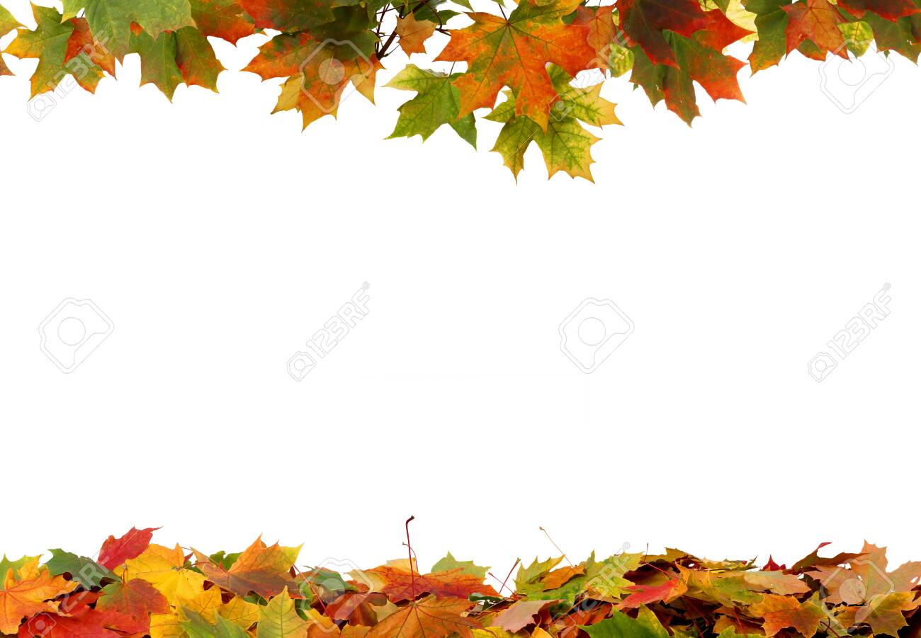 Autumn colored falling maple leaves isolated on white background - 130015183
