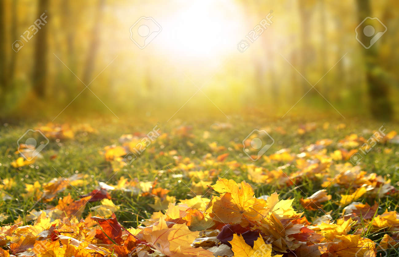 Sunlight in autumn forest. Colorful foliage in the park. Falling leaves natural background.Beautiful autumn landscape with yellow trees, green grass and sun. - 156572819