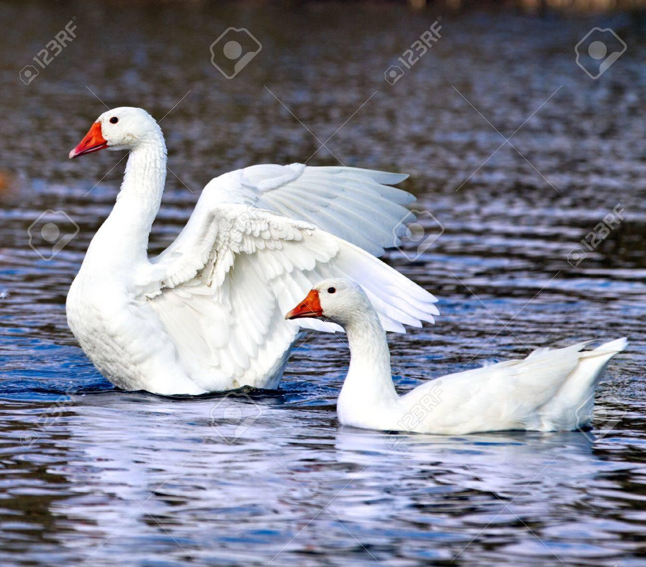 white ducks on the river Stock Photo - 19296784