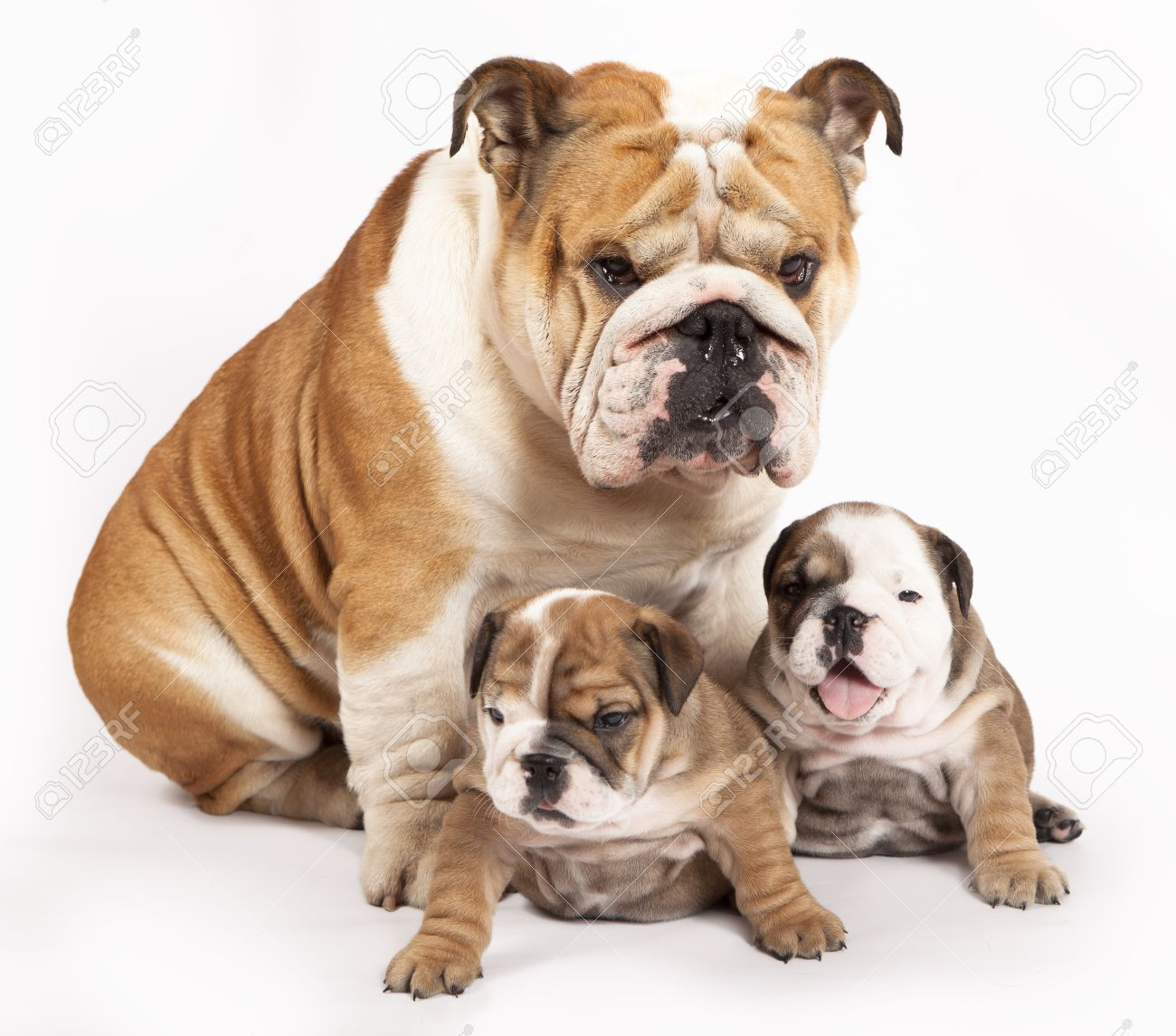 Bored English Bulldog English Bulldog Puppy And