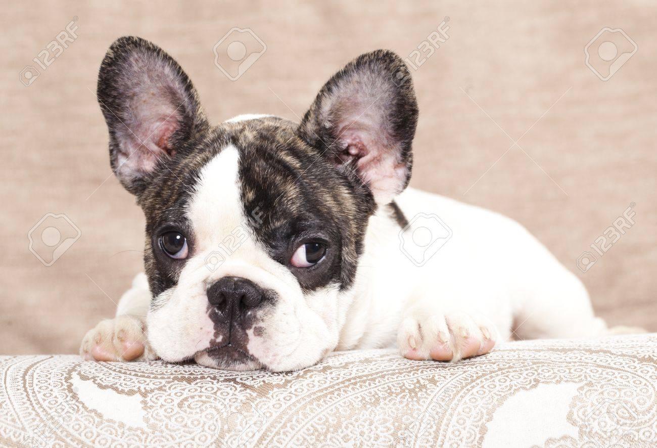 french bulldog puppy , 3 months Stock Photo - 11412244
