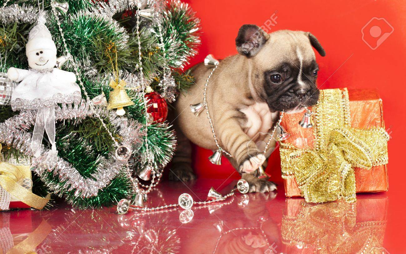 French Bulldog Puppy And Gifts Christmas Stock Photo, Picture And ...
