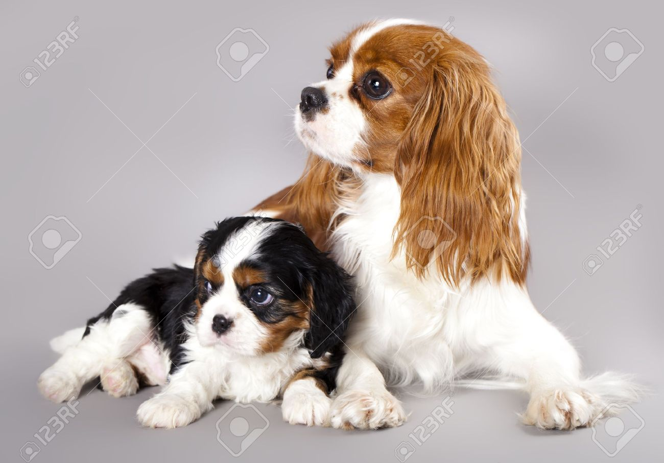 Cavalier King Charles Spaniel Puppies Stock Photo Picture And Royalty Free Image Image 11452168